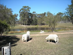 Sheep grazing statues